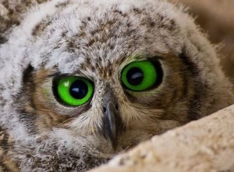 owl yeux